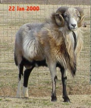 Hair sheep - CAMEO